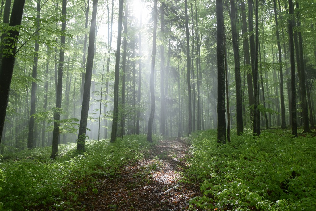 In the Beech Forest.